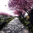 八重桜見事