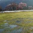小国町の桜2