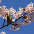 メジロと玉縄桜