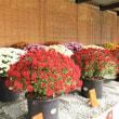 姫路城三の丸広場 菊花展