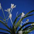 富貴蘭「花まつり」の花