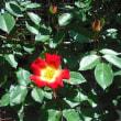 バラ三番開花は カクテル