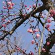 中山のおひな祭り*枝垂れ梅もアセビも開花