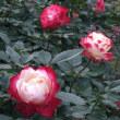 新宿御苑 薔薇園