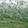 リンゴの花咲き出す