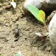 ヒメハンミョウモドキ 緑色型と褐色型