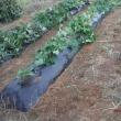 体調も戻り収穫キュウリ・オクラ 雨後の草取り