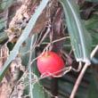 楽書き雑記「カラスウリ?スズメウリ?それとも・・・。散歩道で見つけた赤い実」