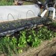 野菜の畝全て植え付け終了