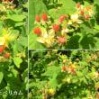 ヒペリカムの花は