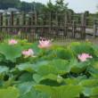 利根親水公園 大賀蓮が咲いてきました・・・