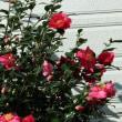 赤色の山茶花開花