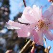 3月に咲く十月桜。(3/17*土)