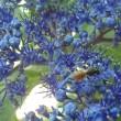 小さなミツバチ ハラアカチビコハナバチ