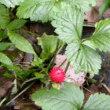 林縁にヤブヘビイチゴの赤い実