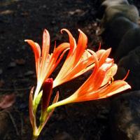 キツネノカミソリ - 神代植物公園・水生植物園