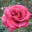 ブルー系のバラに心惹かれます。