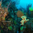 オノミチキサンゴ