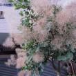 スモークツリーという木