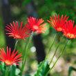 真っ赤な細身のガーベラが気にっています。 (Photo No.14300)