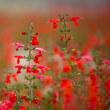 サルビアの咲く季節