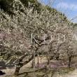 縮景園 梅の花2018