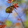 道保川公園は晩秋の彩り・メジロは過ぎ去る秋を惜しむ