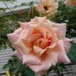 朝に、コンパッション(二番花)が咲いています
