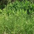 みょうが畑が草ボウボウ