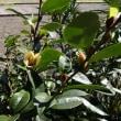 招霊木の花