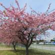 河津桜 満開