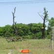 桜の木伐採作業。