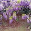 日記(4.26) 藤の花