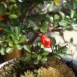 その後の胡蝶蘭と、紅長寿梅は・・・