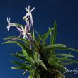 富貴蘭「大渡紅」の花