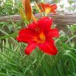 庭のヘメロカリス