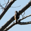 桜の木の小枝のジョウビタキ♂とホオジロ