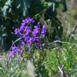 濃い青紫の花は、ショカツサイだ。