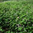 ・ 泉の森 ミゾソバの花一面に開花 2018