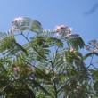 射和(いざわ)文庫のねむの花