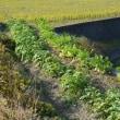 こちらはサツマイモ、黒豆、ジャガイモ、大根コーナーです。
