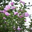 ムクゲの花が咲いてます