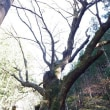 浜松市天竜区水窪・アカクボ沢の栃の木