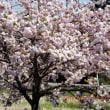 治水公園八重桜満開?