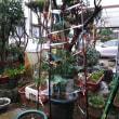 1月17日・ベランダ栽培の茎ブロッコリー順調ですが・・・