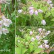 サラサウツギの花は
