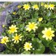春を彩る花(^^♪緑色のハート形の葉、黄金色の花をつける「リュウキンカ(立金花)」