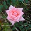 相模原北公園の秋バラが見頃に!