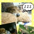 ☆はーちゃん家庭犬への道☆