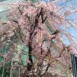 池上本門寺の桜を眺める